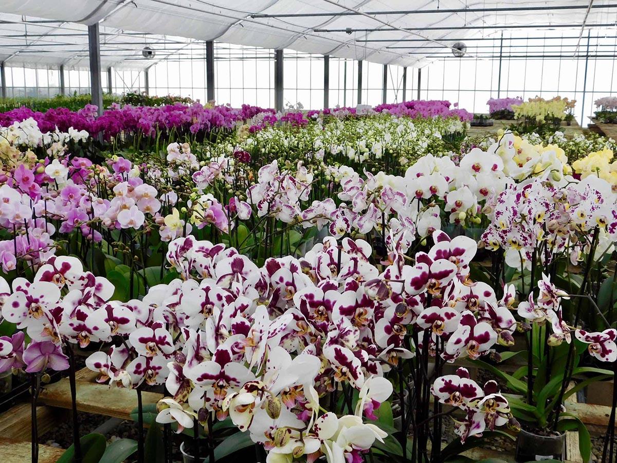 Phương pháp trồng hoa phong lan trong nhà kính hiệu quả cao 2