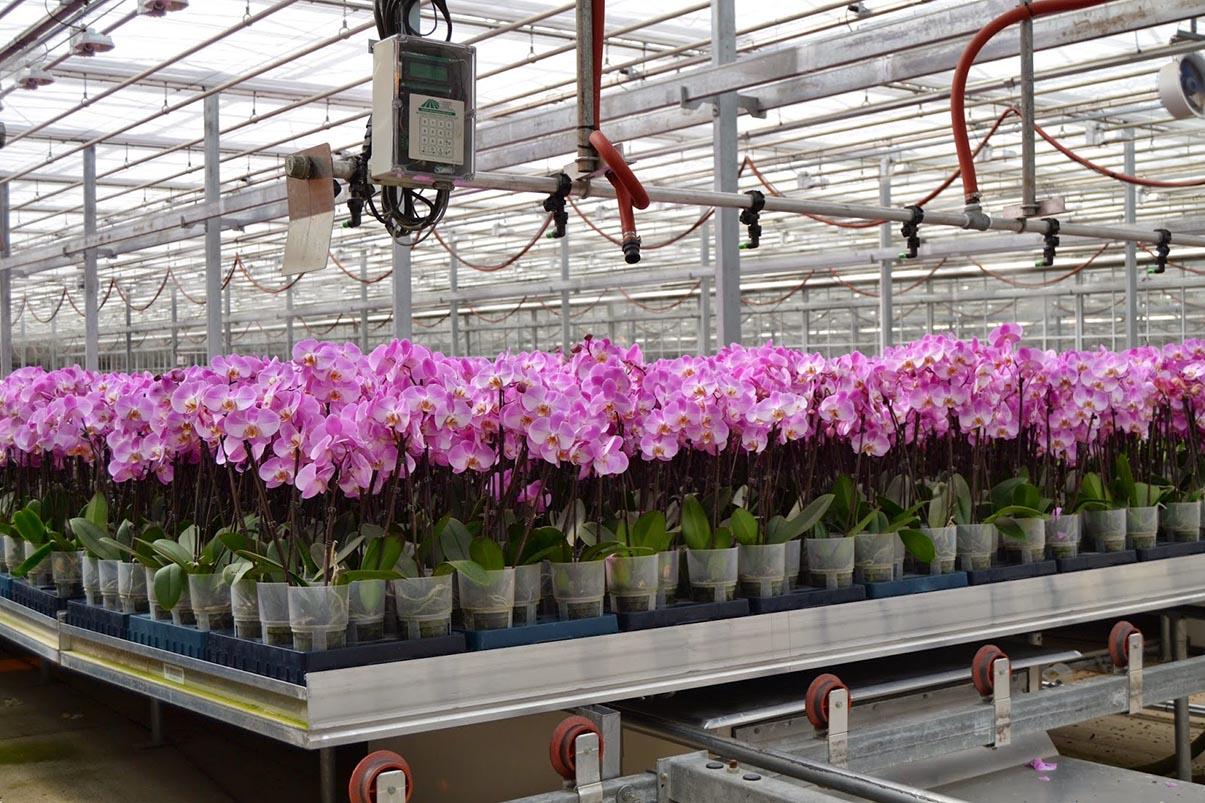Phương pháp trồng hoa phong lan trong nhà kính hiệu quả cao 3