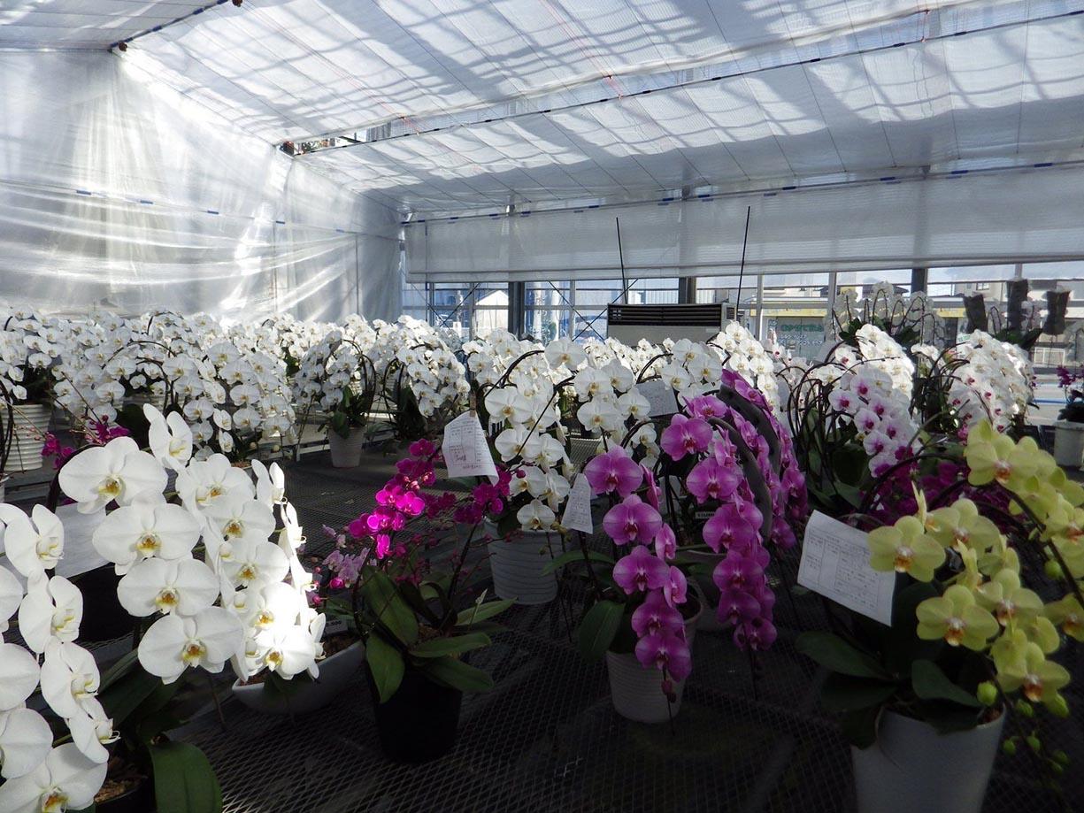 Phương pháp trồng hoa phong lan trong nhà kính hiệu quả cao 6