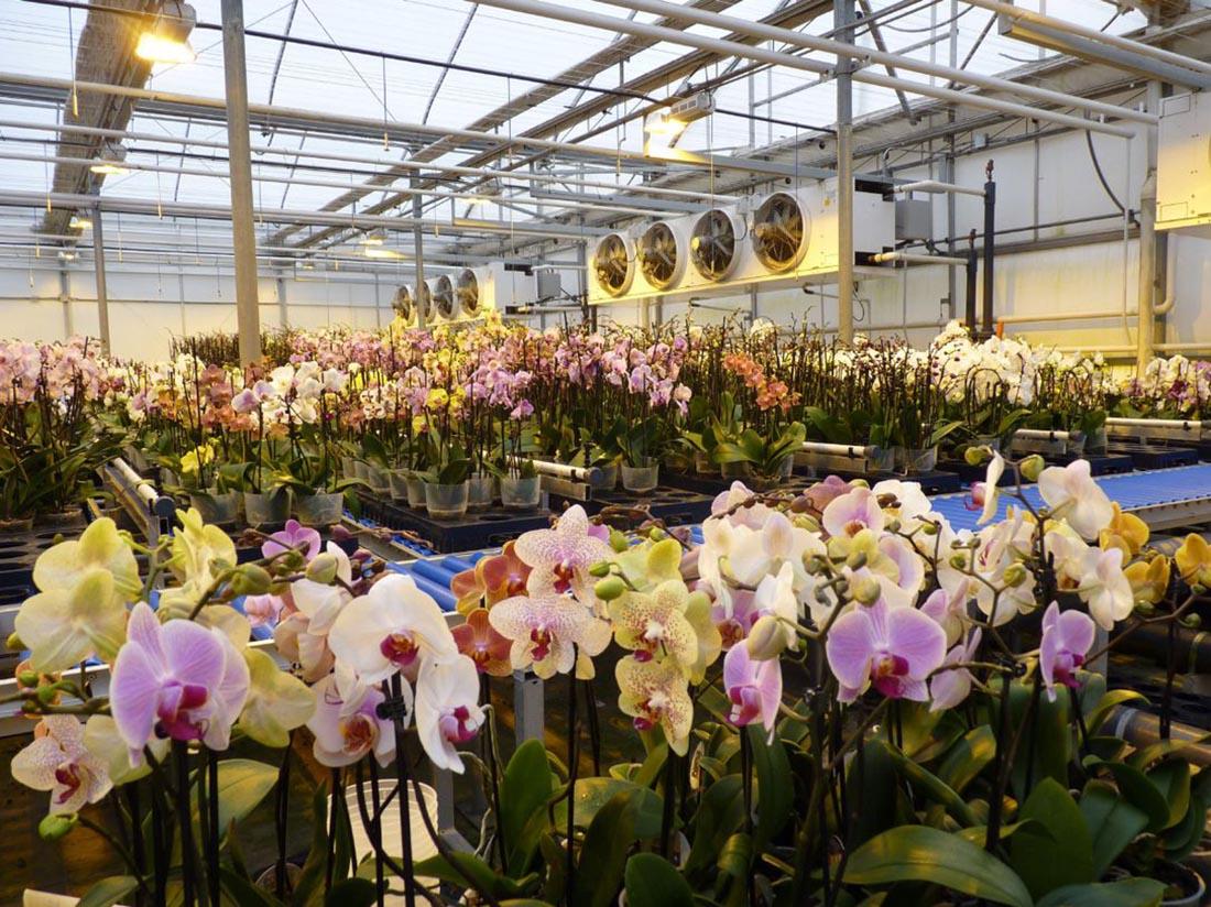 Phương pháp trồng hoa phong lan trong nhà kính hiệu quả cao 1