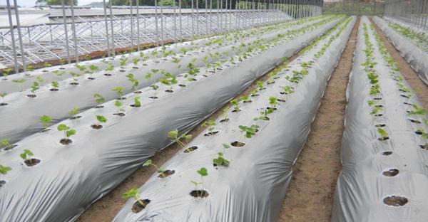 Màng nông nghiệp là gì? có mấy loại màng phủ nông nghiệp phổ biến?