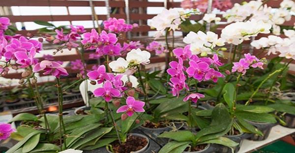 Phương pháp trồng hoa phong lan trong nhà kính hiệu quả cao
