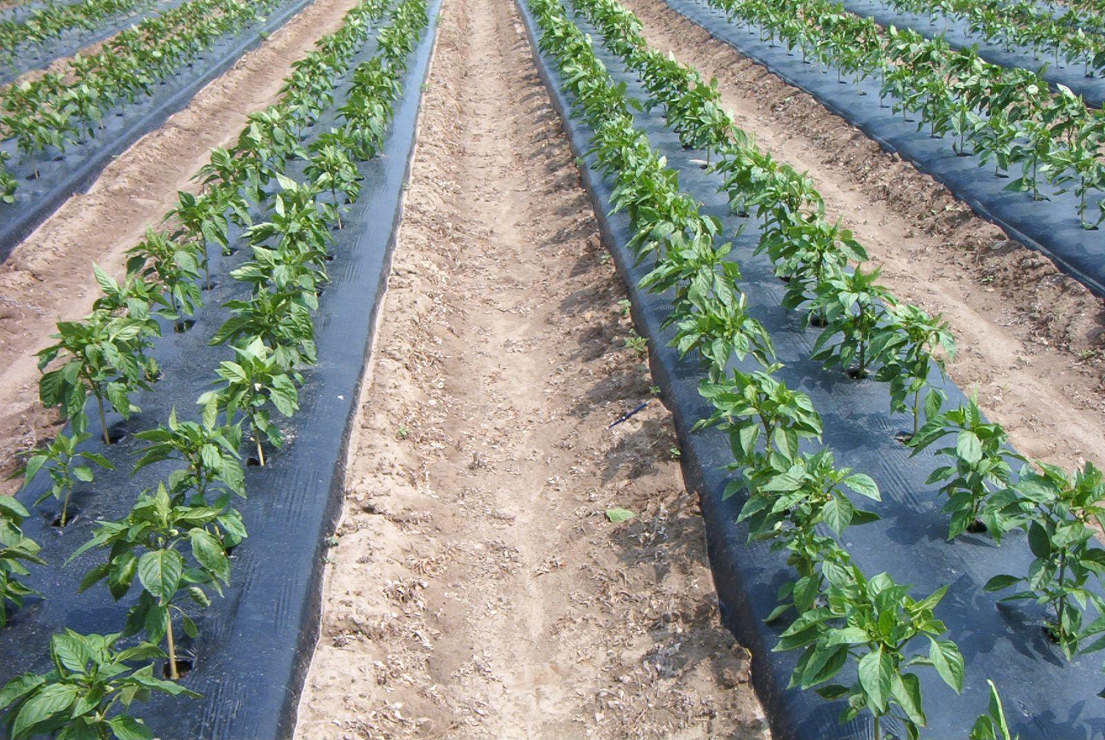 màng phủ nông nghiệp 15mic